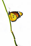 Yellow isolated butterfly on a branch. White background Stock Image