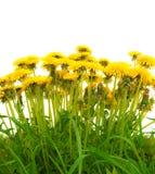 Yellow isolated dandelion Stock Photography