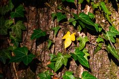 Green ivy climbing up tree trunk Stock Photography