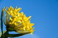 Yellow Ixora coccinea flower Royalty Free Stock Photo