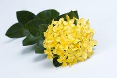 Free Yellow Ixora Coccinea Flowers Stock Images - 11241874