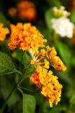 Yellow Ixora Flower. Close up the Yellow Ixora Flower Stock Photo