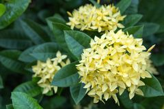 Yellow ixora flower Royalty Free Stock Images