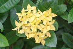 Yellow Ixora Flower Stock Images