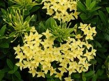 Yellow ixora flower - populardecorative plant of South East Asia. Yellow ixora flower on leaf backgroud stock photo