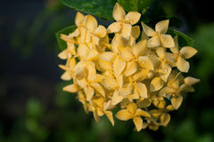 Yellow Ixora Flowers Stock Photos