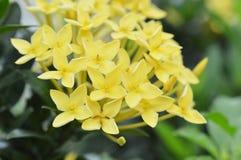 Yellow ixora flowers. Close up bunch of yellow ixora flowers Royalty Free Stock Photo