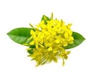 Yellow Ixora flowers Royalty Free Stock Image