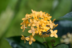 Yellow Ixora flowers Stock Photo