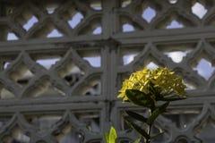 Yellow Ixora flowers with white fence background. royalty free stock photos