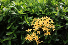 Yellow Ixora Stock Images