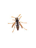 Yellow Jacket Royalty Free Stock Photos