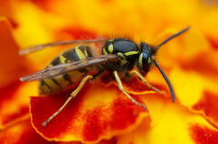 Yellow jacket. Detail (close-up) of a wasp stock image