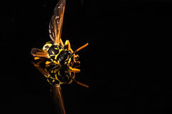 Yellow jacket  on black with reflection Stock Images