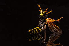 Yellow jacket  on black with reflection Stock Photos