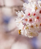 Yellow jacket and cherry blossom. A yellow jacket gathering honey from cherry blossom Royalty Free Stock Photography