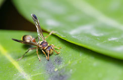 Yellow Jacket Hornet. Found in the garden Stock Image