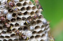 Yellow Jacket Hornets. Guarding their hive are found in the garden Stock Photography