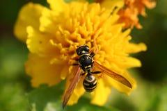 Yellow Jacket on Marigold. Macro image of yellow jacket on marigold Stock Images
