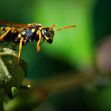Yellow Jacket ready for flight Royalty Free Stock Photography
