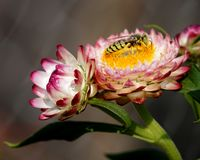 Yellow jacket Royalty Free Stock Photo