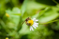 A yellow jacket takes in nectar and pollen from the yellow head of a daisy-like flower. royalty free stock photography