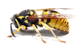 Yellow Jacket Wasp. Close-up of a live Yellow Jacket Wasp on white background. Macro shot with shallow dof royalty free stock images