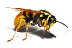 Yellow Jacket Wasp stock images
