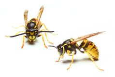 Yellow Jacket Wasp stock image