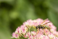 Yellow Jacket Wasp Stock Photo