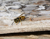 Yellow jacket wasp Royalty Free Stock Photos