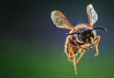 Yellow Jacket Wasp in Flight - Frontal View. A yellow jacket wasp in flight on a dark backdrop. Vespidae insects are predatory invertebrates royalty free stock image