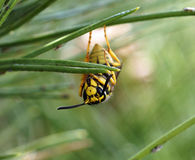 Yellow jacket wasp hanging upside down. On a pine needle royalty free stock photo