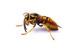 Yellow jacket wasp isolated on white Stock Image