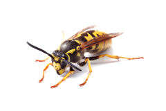 Yellow jacket wasp isolated on white Stock Photo
