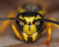 Yellow-jacket Wasp. A macro closeup of a Yellow-jacket Wasp face stock image