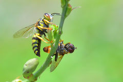 Yellow jacket wasp perched on the beautiful flower.  royalty free stock images