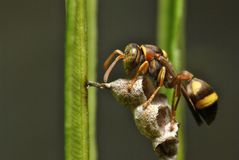 Yellow jacket wasp protect a nest on blurred background. Yellow jacket wasp protect nest blurred background insect macro stock images