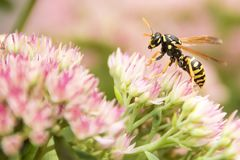 Yellow Jacket Wasp Royalty Free Stock Images