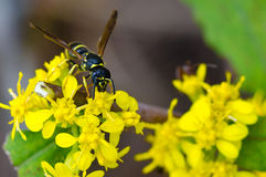 Yellow Jacket on a Yellow Flower Stock Image
