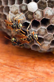 Yellow jackets. Guarding a new nest waiting for the newborns royalty free stock photos