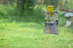 Yellow jackets flying to attractant in trap in mid-summer. Thousands of yellow jackets fill a trap while dozens more fly toward it in North Idaho summertime royalty free stock image