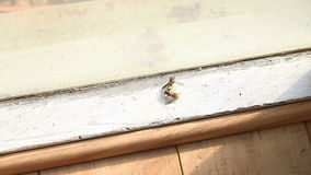 Yellow jackets. A yellow jacket wasp struggles to move a dead companion stock video footage