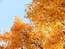Yellow Japanese maple and blue sky Stock Photos
