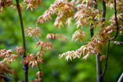 Yellow Japanese maple leaves Royalty Free Stock Photography