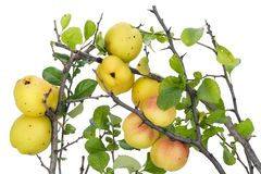 Yellow Japanese Quince branches Royalty Free Stock Photography