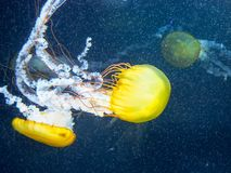 Yellow jelly fish floating on blue sea background. royalty free stock photos