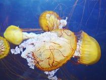 Yellow jellyfish Stock Photography