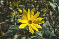 Yellow Jerusalem artichoke flower closeup Stock Photography