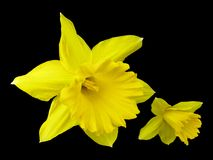 Yellow Jonquil. Isolated On Black Background - Narcissus jonquilla royalty free stock photography